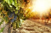 在日落的葡萄园 — 图库照片