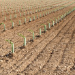 Stock Photo: Newly planted vineyards