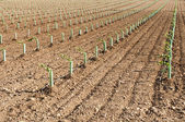 Newly planted vineyards — Stock Photo
