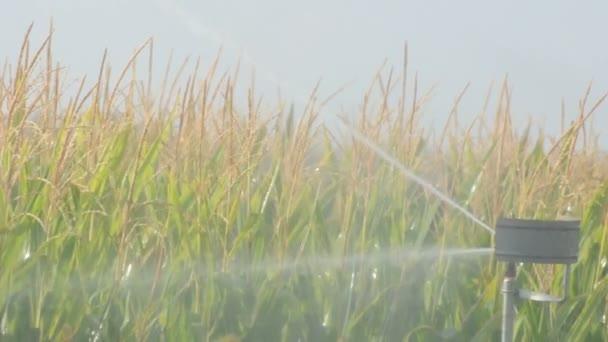 La plantación de maíz de riego. — Vídeo de stock