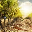 Vineyards at sunset in autumn harvest. — Stock Photo #15680757
