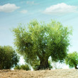 Olive trees — Stock Photo #15680859