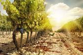 Vineyards at sunset in autumn harvest. — Stock Photo