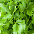 Fresh green parsley — Stock Photo