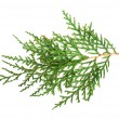 Evergreen branch white isolated — Stock Photo #20186639