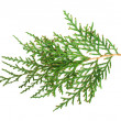 Evergreen branch white isolated — Stock Photo