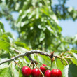 Twig with red cherries — Stock Photo
