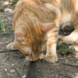 Cat and mouse in garden — Stock Photo #32995187