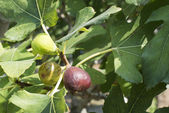 Fig on tree between the leaves — Stock Photo