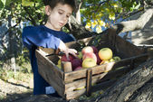 Apples in an old wooden crate on tree — Stock Photo