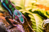 Chameleon between leaves — Stockfoto