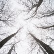 Big Trees in fog — Stock Photo #39821305