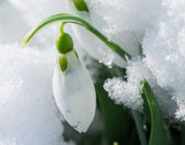 Snowdrop flower in a snow — Stock Photo