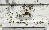 Bees entering the hive — Foto Stock