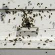 Bees entering the hive — Stock Photo #48406291