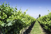 Green Vineyards  — Stock Photo