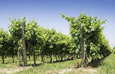 Green Vineyards — Stock Photo
