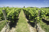 Green Vineyards  — Stockfoto