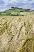 Cereal crops and farm in Tuscany — Stock Photo
