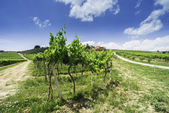Vine plantations and farmhouse in Italy — Stock Photo