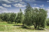 Olive trees in Italy — Stock Photo