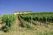 Vine plantations and farmhouse in Italy — Stock Photo