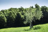 Olive trees in Italy — Stockfoto