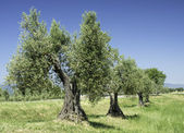 Olive tree in Italy — Stock Photo