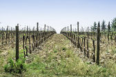 Budding vineyards — Stock Photo