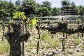 Budding vineyards — Stock Photo