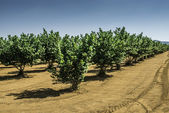 Hazel tree plantation — Foto Stock