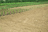 Plantations with lettuce — Stock Photo