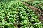 Plantations with lettuce — Stockfoto