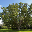 Stock Photo: Cork Oak Tree