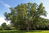 Cork Oak Tree — Stock Photo