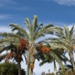 Date Palm Trees — Stock Photo #18183213