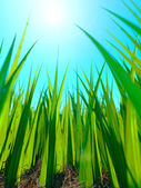 Close up of fresh thick grass with sun and ground — Stock Photo