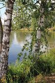 Landscape - Russian birches — Stock Photo
