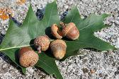 Acorn and oak leaf marsh — Stock Photo