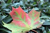 Maple Leaf and Autumn — Stock Photo
