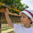 Little boy picking strawberries — Stock Photo