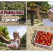 Stock Photo: Pick your own strawberries
