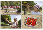 Pick your own strawberries — Stock Photo