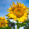 Sunflower — Stock Photo #28961105