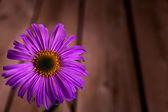 Fioletowy stokrotka — Zdjęcie stockowe