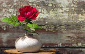 Chinese rose in vase — ストック写真