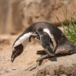 Stock Photo: Small Penguin at Sommer Time in Berlin's Zoo