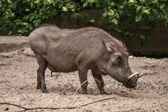 Wild Boar at the Berlin Zoo, Germany — Stock Photo