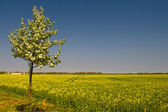Blooming of Rapeseed field nearby Magdeburg — Stock Photo