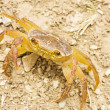 Crab in the desert — Stock Photo